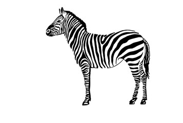 Graphical zebra standing,vector