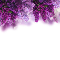 Wall Murals Lilac Lilac flowers on white