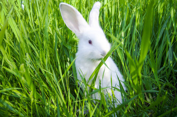 White rabbit stands on hind legs and eats grass