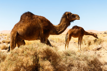 Camel in the desert in Morocco
