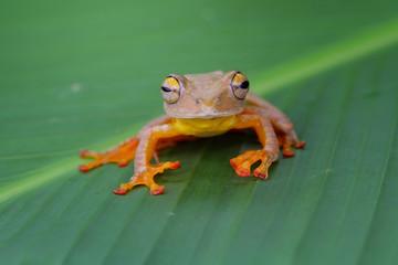 Tree frog, harlequin tree frog on leaves