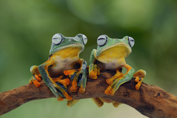 Tree frog, flying frog on branch