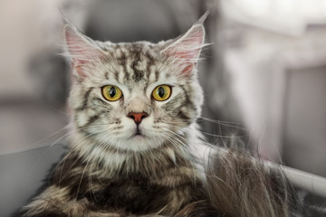 Beautiful fluffy gray cat Maine Coon looking at the camera.
