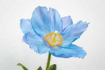Blue poppy on white