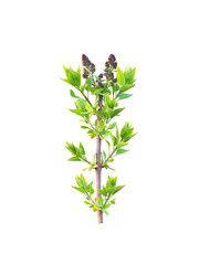 Spring branch of lilac with buds isolated on white background. Awakening, new life. Syringa vulgaris, lilac or common lilac, ornamental flowering plant in the olive family Oleaceae