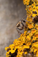 Jumping spider in yellow lichens