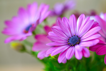 Vibrant beautiful purple daisies