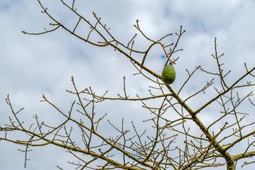 The silk floss tree (Ceiba speciosa, formerly Chorisia speciosa)