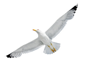 Seagull isolated on white