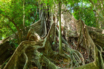 Large tropical tree with flat, wide running root system from mighty buttress roots in the national park Khao Sok