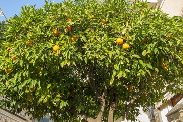 Drzewo pomarańczy