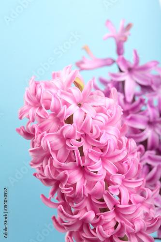 Hyacinth pink surprise and violet dutch hyacinth spring flowers hyacinth pink surprise and violet dutch hyacinth spring flowers the perfume of blooming hyacinths mightylinksfo