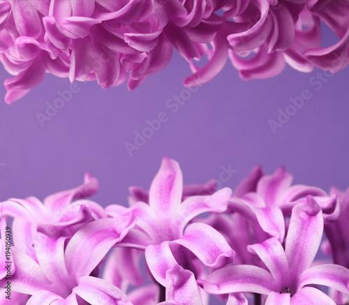 Hyacinth violet dutch hyacinth spring flowers the perfume of hyacinth violet dutch hyacinth spring flowers the perfume of blooming hyacinths is a symbol mightylinksfo