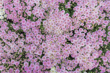 purple camomile daisy meadow top view