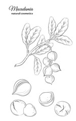 Macadamia leaves fruits and nuts