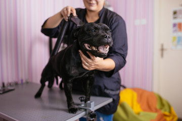 Dog grooming process. Black American Stafford terrier sits on the table while being brushed and styled by a professional groomer.