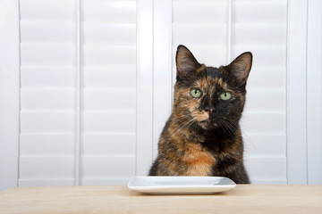 One tortoiseshell tortie tabby cat sitting at a light wood table with square plate, white shutters over window in background looking directly at viewer waiting for food.