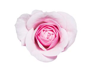 Beautiful Rose Flower Bud Isolated on White Background