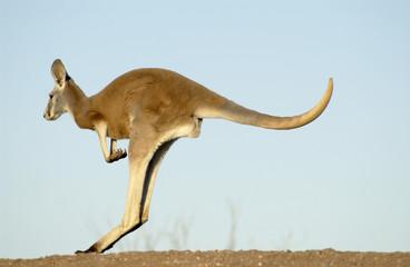 red kangaroo in Sturt National Park, NSW, Australia.