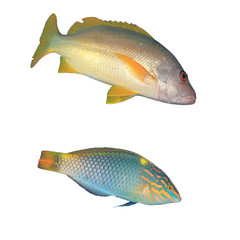 Tropical reef fish isolated on white background. Onespot Snapper and Checkerboard Wrasse