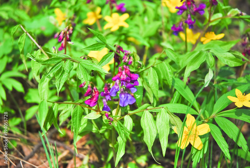Flowers of spring vetchling or spring vetch lathyrus vernus and flowers of spring vetchling or spring vetch lathyrus vernus and yellow flowers of mightylinksfo
