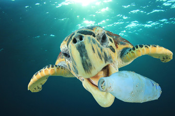 Plastic pollution problem - Sea Turtle eating plastic bottle in ocean