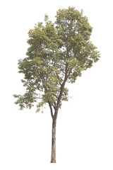 Burma padauk tree on white background.Tree isolated on white background.