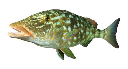 Longnose Emperor fish isolated on white background