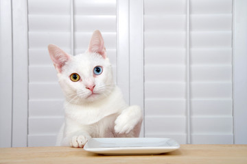 White kitten with heterochromia, or odd-eyed one yellow one blue sitting at a wood table with a square white plate looking directly at viewer. one paw on table one held up to reach