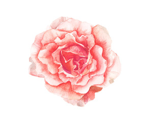 Watercolor pink flower painting on white background