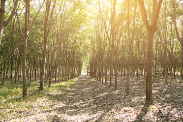 The rubber tree / rubber plantation./Rubber farmers in Thailand, add artificial light to enhance the image.