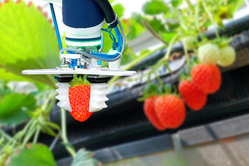 Agriculture technology , artificial intelligence concepts, Farmer use smart farm automation robot arm assistant image processing for harvest strawberry , replace worker and increase precision.