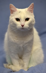 white albino cat