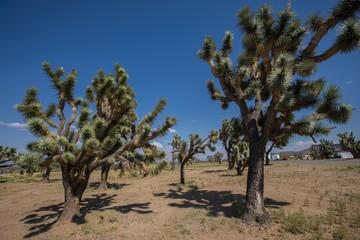 joshua,joshua tree,landscape,arizona,desert,desert landscape,