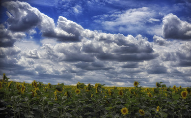 In the blue sky there are fluffy clouds over the field of sunflowers.