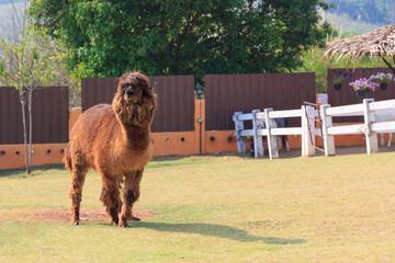 Big brown alpaca.