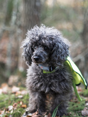 Black toy poodle in the woods