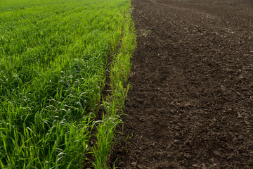 Field of young green wheat and black empty field. crop rotation