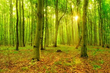 Naturnaher Buchenwald im Sommer, Sonne strahlt durchs grüne Laub
