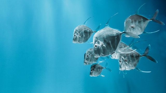 The lookdown fish swimming in the water