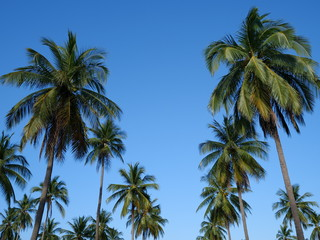 Palm trees over blue sky background. Sunny tropical summer holiday day concept