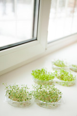 Green shoots of micro-green on the windowsill.