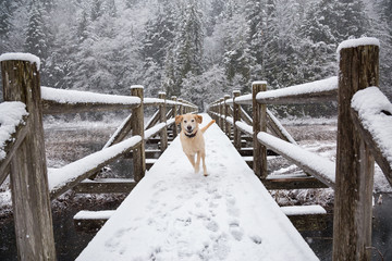 Golden Retriever outside in the snow. Taken in Brohm Lake, near Squamish and Whistler, North of Vancouver, British Columbia, Canada.