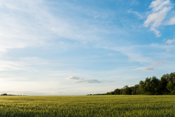 growing cereals in the field. landscape