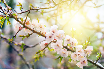 Flowers apricot tree in spring covered last snow Wall mural