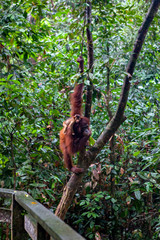 Wild orangutang in Sepilok nature reserve in Sabah, Borneo, Malaysia