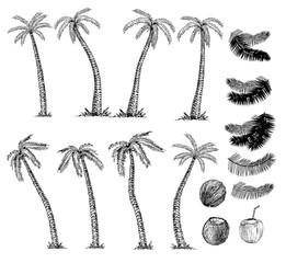 Hand drawn palm trees sketch set. Coconuts. Vector illustration on white background. Travel and vacation symbols.