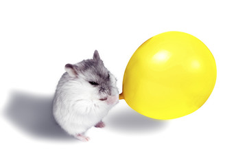 hamster puffs up a yellow bead, concept of a holiday, on a white background