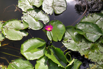 Natural Water Lily Flowers. Color Picture and Image.
