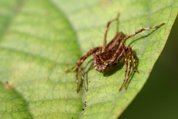 Image of brown spiders on green leaves. Insect. Animal.